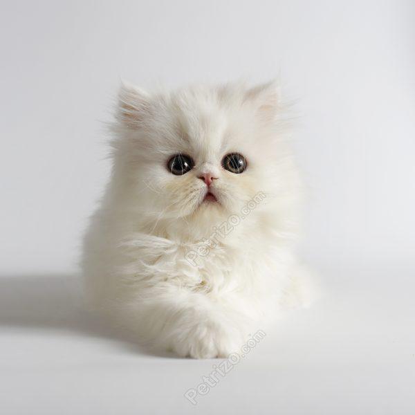 فروش گربه | خرید گربه | خرید فروش گربه | مرکز خرید گربه |مرکز فروش ...