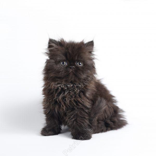پتریزو | فروشگاه اینترنتی گربه|آرایشگاه حیوانات|بهترین فروشگاه گربه|فروش گربه 5-1-600x600 گربه پرشین مشکی 55 روزه ماده (فروخته شد)