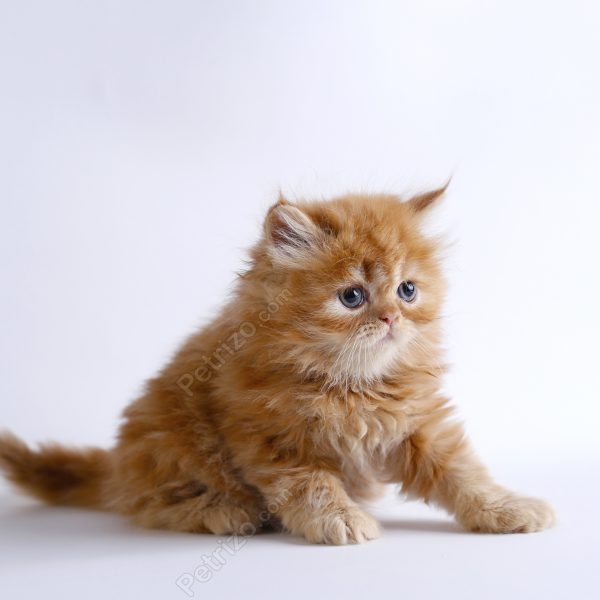 پتریزو | فروشگاه اینترنتی گربه|آرایشگاه حیوانات|بهترین فروشگاه گربه|فروش گربه MG_0680-1-600x600 گربه نژاد پرشین 50 روزه ماده (فروخته شد)