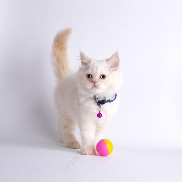 پتریزو | فروشگاه اینترنتی گربه|آرایشگاه حیوانات|بهترین فروشگاه گربه|فروش گربه adad1-600x600 گربه هیمالین رد پوینت 55 روزه نر (فروخته شد)    فروش گربه