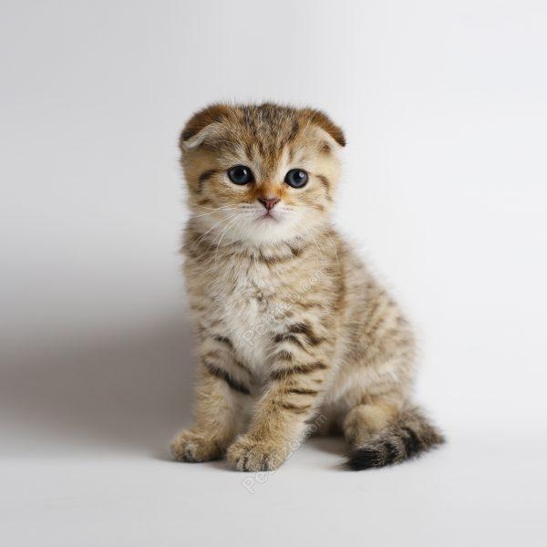 پتریزو | فروشگاه اینترنتی گربه|آرایشگاه حیوانات|بهترین فروشگاه گربه|فروش گربه e2-600x600 گربه اسکاتیش فولد 55 روزه نر (فروخته شد)