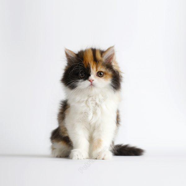 پتریزو | فروشگاه اینترنتی گربه|آرایشگاه حیوانات|بهترین فروشگاه گربه|فروش گربه laye2-600x600 گربه پرشین کالیکو 75 روزه ماده (فروخته شد)    فروش گربه