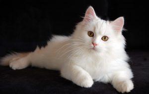 پتریزو | فروشگاه اینترنتی گربه|آرایشگاه حیوانات|بهترین فروشگاه گربه|فروش گربه white-persian-cat-HD-image-300x191 ایا گربه ها صاحب خود را میشناسند؟ نگهداری و آشنایی با گربه ها