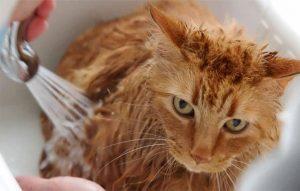 پتریزو | فروشگاه اینترنتی گربه|آرایشگاه حیوانات|بهترین فروشگاه گربه|فروش گربه -کردن-گربه-300x191 حمام کردن گربه ها و روش های آن سلامتی و بهداشت گربه ها بچه گربه ها آیا میشود گربه را شست
