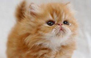 پتریزو | فروشگاه اینترنتی گربه|آرایشگاه حیوانات|بهترین فروشگاه گربه|فروش گربه -سازی-گربه-ها-300x191 شرطی سازی گربه ها آموزش گربه ها نمرین با گربه گربه شرطی سازی گربه ها