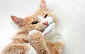 پتریزو | فروشگاه اینترنتی گربه|آرایشگاه حیوانات|بهترین فروشگاه گربه|فروش گربه -زدن-دندان-ها-300x191 مسواک زدن دندان های گربه سلامتی و بهداشت گربه ها مسواک زدن دندان های گربه