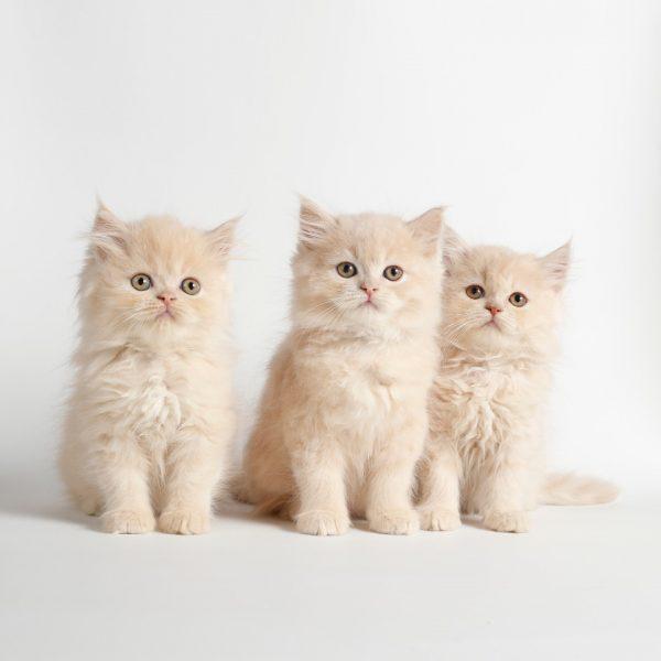 پتریزو | فروشگاه اینترنتی گربه|آرایشگاه حیوانات|بهترین فروشگاه گربه|فروش گربه WhatsApp-Image-2019-08-15-at-16.27.17-600x600 گربه های پرشین دال فیس 55 روزه (آماده فروش)