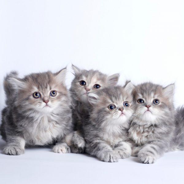 پتریزو | فروشگاه اینترنتی گربه|آرایشگاه حیوانات|بهترین فروشگاه گربه|فروش گربه WhatsApp-Image-2019-08-15-at-16.29.13-600x600 گربه های پرشین چینچیلا  55 روزه (فروخته شدند)