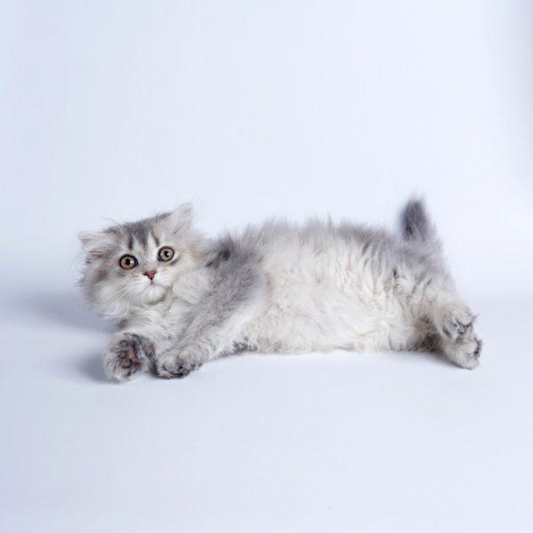پتریزو | فروشگاه اینترنتی گربه|آرایشگاه حیوانات|بهترین فروشگاه گربه|فروش گربه WhatsApp-Image-2019-08-15-at-16.32.33-600x600 اسکاتیش مو بلند فولد ماده 85 روزه سیلور (آماده فروش)