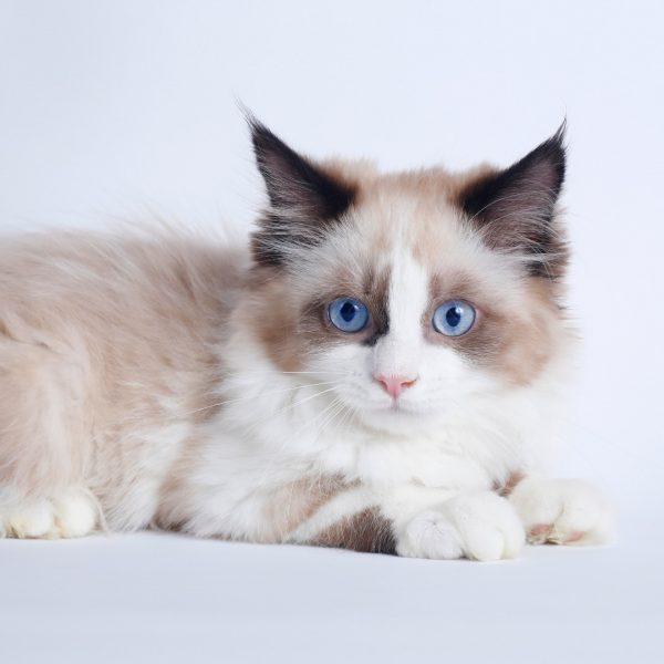 پتریزو | فروشگاه اینترنتی گربه|آرایشگاه حیوانات|بهترین فروشگاه گربه|فروش گربه WhatsApp-Image-2019-08-15-at-16.42.57-600x600 گربه نژاد رگدال 85 روزه نر چشم آبی (آماده فروش)