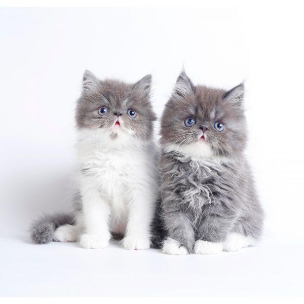 پتریزو | فروشگاه اینترنتی گربه|آرایشگاه حیوانات|بهترین فروشگاه گربه|فروش گربه WhatsApp-Image-2019-08-24-at-16.41.37-1-600x600 گربه های پرشین بای کالر 55 روزه (آماده فروش)