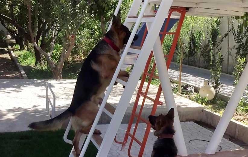 پتریزو | فروشگاه اینترنتی گربه|آرایشگاه حیوانات|بهترین فروشگاه گربه|فروش گربه -بالارفتن-از-نردبان-به-سگ-1 آموزش ها و مقالات