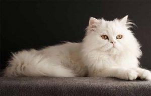 پتریزو | فروشگاه اینترنتی گربه|آرایشگاه حیوانات|بهترین فروشگاه گربه|فروش گربه -فرمان-پایین-بمان-به-گربه-300x191 آموزش فرمان پایین بمان به گربه ها آموزش گربه ها