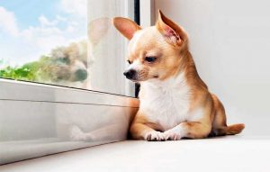 پتریزو | فروشگاه اینترنتی گربه|آرایشگاه حیوانات|بهترین فروشگاه گربه|فروش گربه اضطراب-جدایی-در-سگ-ها-300x191 مشکل رفتاری در سگ ها-اضطراب جدایی (بخش اول) سلامتی و بهداشت سگ ها  اضطراب جدایی در سگ ها   فروش گربه