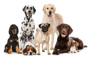 پتریزو | فروشگاه اینترنتی گربه|آرایشگاه حیوانات|بهترین فروشگاه گربه|فروش گربه معرفی-نژاد-سگ-ها-300x191 معرفی نژاد سگ ها -بخش6- راهنمای نژاد های سگ ها  نژاد کی رن تریر نژاد بول ماستیف نژاد بول تریر   فروش گربه