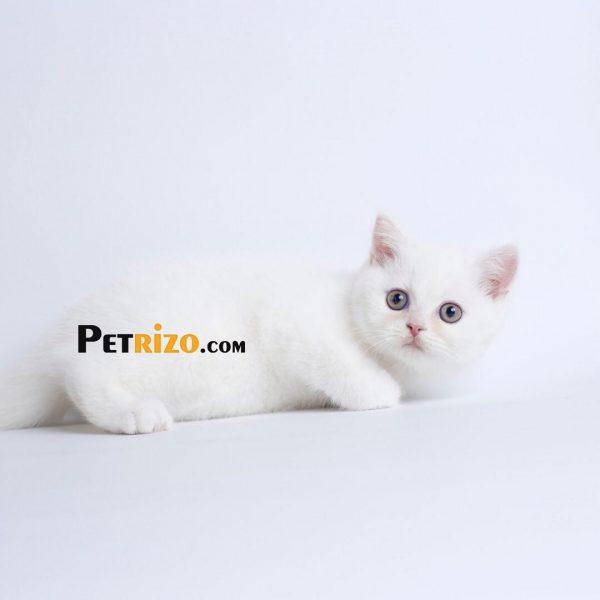 گربه بریتیش سفید 60 روزه