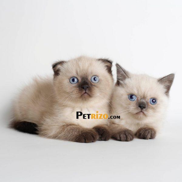 پتریزو | فروشگاه اینترنتی گربه|آرایشگاه حیوانات|بهترین فروشگاه گربه|فروش گربه WhatsApp-Image-2019-09-05-at-19.59.14-600x600 اسکاتیش چشم آبی بلو پوینت 45 روزه نر