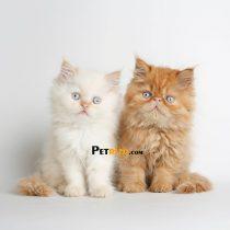 پتریزو | فروشگاه اینترنتی گربه|آرایشگاه حیوانات|بهترین فروشگاه گربه|فروش گربه WhatsApp-Image-2019-09-05-at-20.05.14-210x210 صفحه اصلی    فروش گربه
