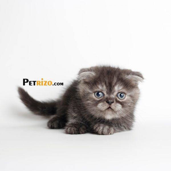 پتریزو | فروشگاه اینترنتی گربه|آرایشگاه حیوانات|بهترین فروشگاه گربه|فروش گربه WhatsApp-Image-2019-09-05-at-20.18.13-600x600 اسکاتیش فولد اسموکی تبی 45 روزه نر