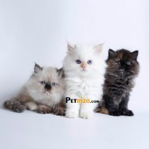 گربه هیمالین ردپوینت ماده 50 روزه