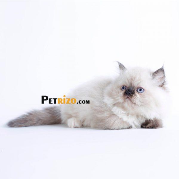 گربه پرشین توتورایس 50 روزه ماده