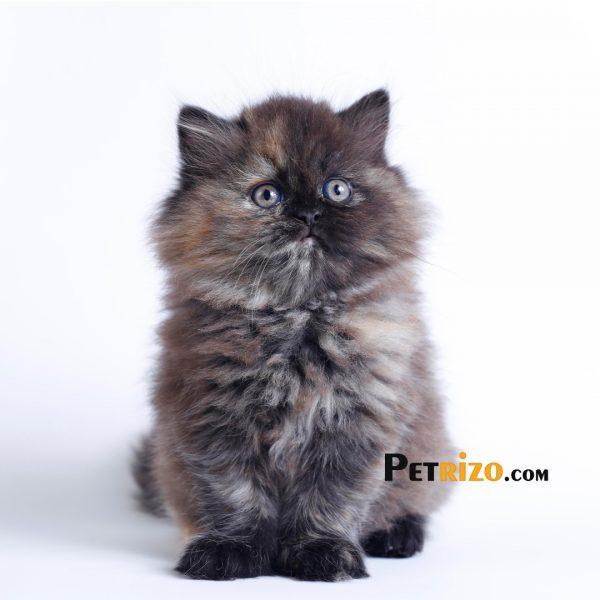 پتریزو | فروشگاه اینترنتی گربه|آرایشگاه حیوانات|بهترین فروشگاه گربه|فروش گربه WhatsApp-Image-2019-09-17-at-19.25.370-600x600 گربه پرشین توتورایس 50 روزه ماده