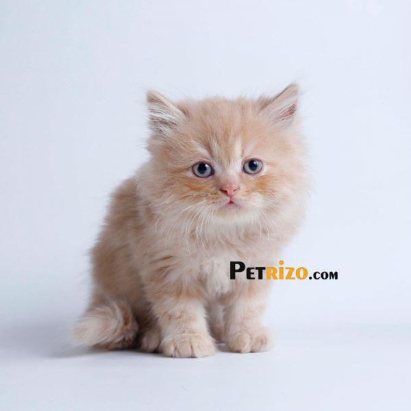 پتریزو | فروشگاه اینترنتی گربه|آرایشگاه حیوانات|بهترین فروشگاه گربه|فروش گربه WhatsApp-Image-2019-09-19-at-20.48.43-600x600 گربه پرشین کرم 50 روزه نر