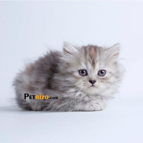 پتریزو   فروشگاه اینترنتی گربه آرایشگاه حیوانات بهترین فروشگاه گربه فروش گربه WhatsApp-Image-2019-09-19-at-20.50.26-600x600 گربه پرشین چینچیلا 50 روزه ماده
