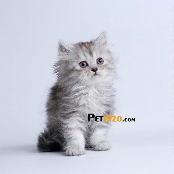 گربه پرشین چینچیلا 50 روزه ماده