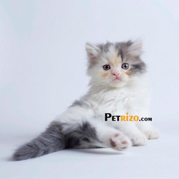 گربه نژاد گربه رگدال 50 روزه نر