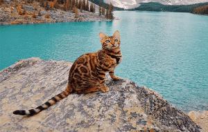 پتریزو | فروشگاه اینترنتی گربه|آرایشگاه حیوانات|بهترین فروشگاه گربه|فروش گربه -با-نژاد-گربه-بنگال-300x191 آشنایی با نژاد گربه بنگال راهنمای نژاد های گربه ها گربه نگهداری و آشنایی با گربه ها آشنایی با نژاد گربه بنگال