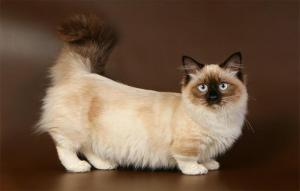 پتریزو | فروشگاه اینترنتی گربه|آرایشگاه حیوانات|بهترین فروشگاه گربه|فروش گربه -نژاد-گربه-مانچکین-300x191 خرید گربه | خرید سگ بلاگ