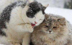 پتریزو | فروشگاه اینترنتی گربه|آرایشگاه حیوانات|بهترین فروشگاه گربه|فروش گربه -جفت-گیری-گربه-ها-300x191 زمان جفت گیری گربه ها آموزش گربه ها گربه نگهداری و آشنایی با گربه ها زمان جفت گیری گربه ها