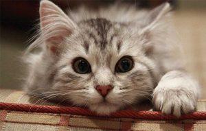 پتریزو | فروشگاه اینترنتی گربه|آرایشگاه حیوانات|بهترین فروشگاه گربه|فروش گربه -گربه-ای-300x191 آموزش ها و مقالات