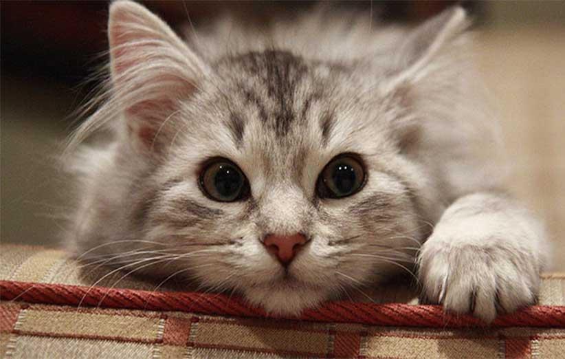 پتریزو | فروشگاه اینترنتی گربه|آرایشگاه حیوانات|بهترین فروشگاه گربه|فروش گربه -گربه-ای نحوه برخورد با گربه های خشمگین و پرخاشگر بلاگ