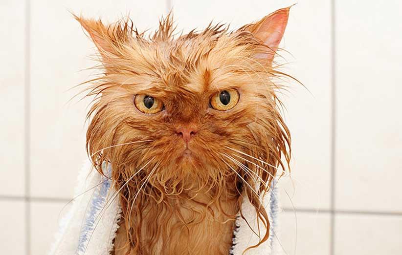 پتریزو | فروشگاه اینترنتی گربه|آرایشگاه حیوانات|بهترین فروشگاه گربه|فروش گربه -گربه-از-خیس-شدن-متنفر-است؟ نحوه برخورد با گربه پرخاشگر 2 بلاگ