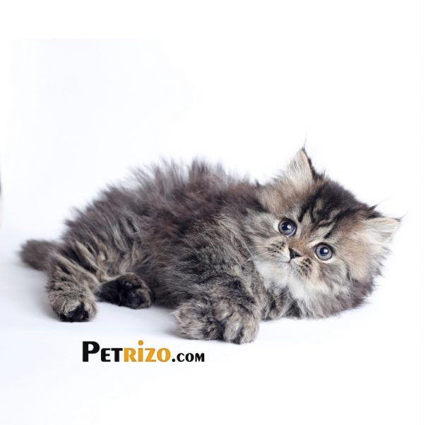 پتریزو | فروشگاه اینترنتی گربه|آرایشگاه حیوانات|بهترین فروشگاه گربه|فروش گربه WhatsApp-Image-2019-10-01-at-19.30.18-600x601 گربه پرشین چینچیلا 50 روزه ماده    فروش گربه