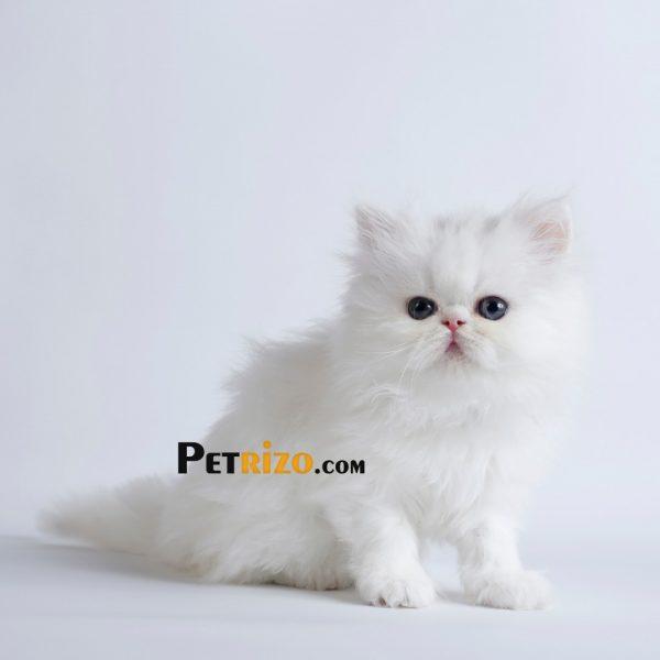 پتریزو | فروشگاه اینترنتی گربه|آرایشگاه حیوانات|بهترین فروشگاه گربه|فروش گربه WhatsApp-Image-2019-10-01-at-19.31.58-600x600 گربه پرشین سفید 50 روزه ماده