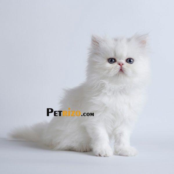 فروش گربه اسفینکس