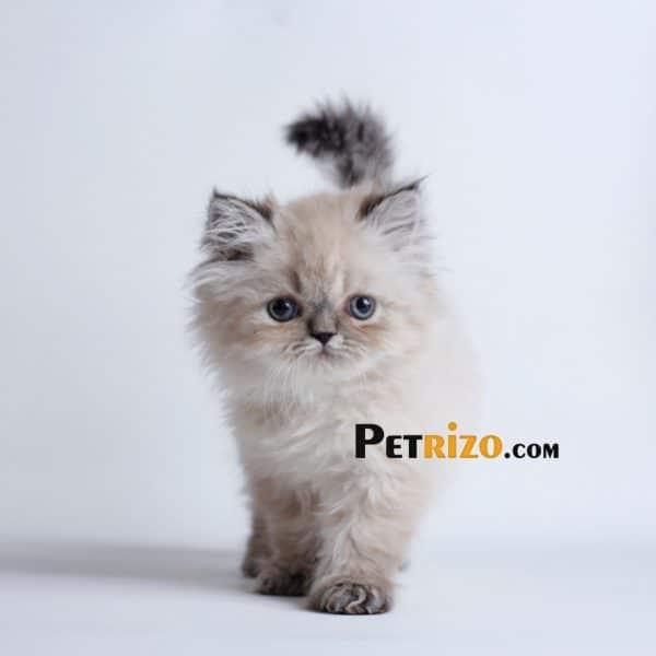 پتریزو | فروشگاه اینترنتی گربه|آرایشگاه حیوانات|بهترین فروشگاه گربه|فروش گربه WhatsApp-Image-2019-10-01-at-19.40.45-600x600 گربه هیمالین چاکلت پوینت 50 روزه ماده
