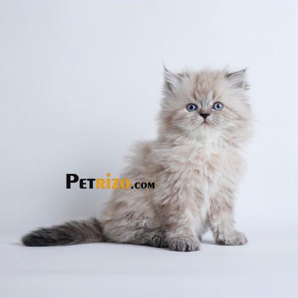 فروش گربه چینچیلا