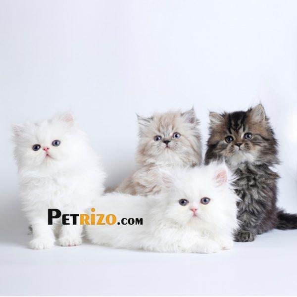 فروش گربه پرشین کت سفید