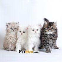 پتریزو | فروشگاه اینترنتی گربه|آرایشگاه حیوانات|بهترین فروشگاه گربه|فروش گربه WhatsApp-Image-2019-10-01-at-19.54.470-210x210 صفحه اصلی    فروش گربه