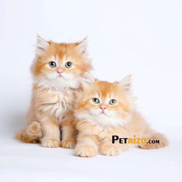 پتریزو | فروشگاه اینترنتی گربه|آرایشگاه حیوانات|بهترین فروشگاه گربه|فروش گربه WhatsApp-Image-2019-10-07-at-20.45.45-600x600 فروش گربه بریتیش گلد مو بلند 50 روزه نر