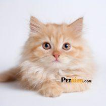 پتریزو | فروشگاه اینترنتی گربه|آرایشگاه حیوانات|بهترین فروشگاه گربه|فروش گربه WhatsApp-Image-2019-10-13-at-16.00.54p-210x210 صفحه اصلی    فروش گربه