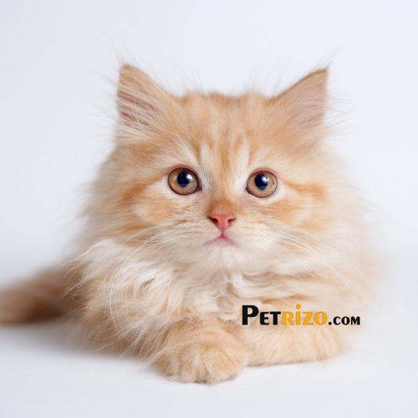 پتریزو | فروشگاه اینترنتی گربه|آرایشگاه حیوانات|بهترین فروشگاه گربه|فروش گربه WhatsApp-Image-2019-10-13-at-16.00.54p-600x600 فروش پرشین عروسکی نارنجی 45 روزه نر