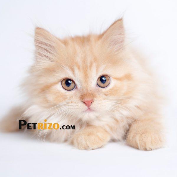 گربه های پرشین