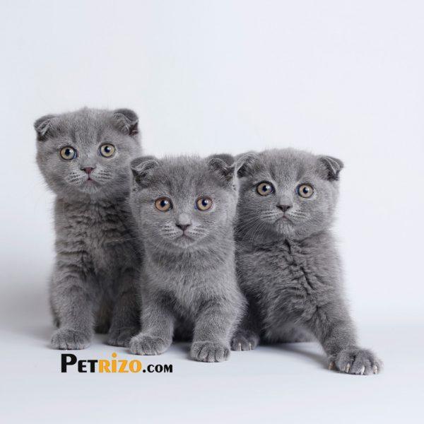 پتریزو | فروشگاه اینترنتی گربه|آرایشگاه حیوانات|بهترین فروشگاه گربه|فروش گربه WhatsApp-Image-2019-10-16-at-18.30.33-600x600 فروش گربه اسکاتیش فولد 50 روزه نر و ماده