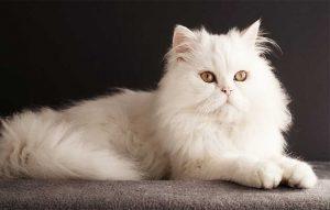 پتریزو | فروشگاه اینترنتی گربه|آرایشگاه حیوانات|بهترین فروشگاه گربه|فروش گربه آشنایی-با-گربه-ها-300x191 آموزش ها و مقالات    فروش گربه