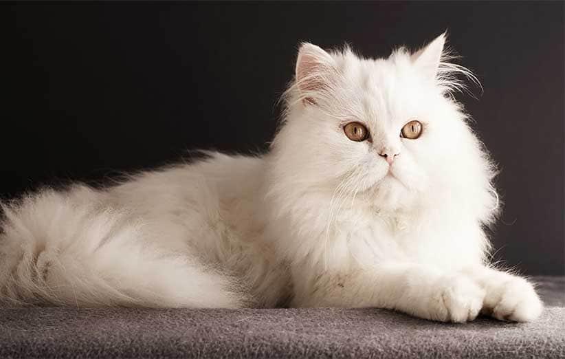پتریزو | فروشگاه اینترنتی گربه|آرایشگاه حیوانات|بهترین فروشگاه گربه|فروش گربه -با-گربه-ها آموزش ها و مقالات